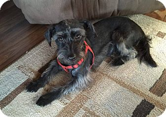 Miniature Schnauzer Mix Puppy for adoption in Iowa, Illinois and Wisconsin, Iowa - Josey