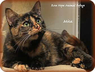 Domestic Shorthair Cat for adoption in Waterbury, Connecticut - Mica