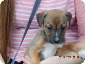 Carolina Dog/Shepherd (Unknown Type) Mix Puppy for adoption in Williamsport, Maryland - Lakota (8 lb) Video!