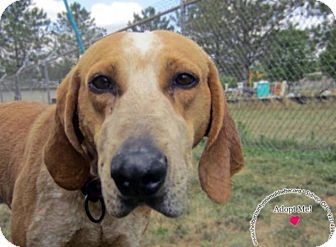 Redtick Coonhound Mix Dog for adoption in Sidney, Ohio - Winston