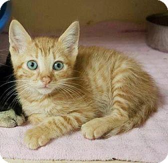 Domestic Shorthair Kitten for adoption in Lincolnton, North Carolina - Sawyer $20