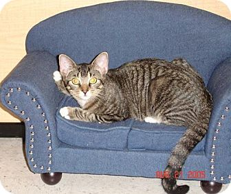 Domestic Shorthair Cat for adoption in Garland, Texas - Leo