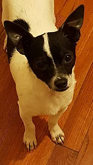 Rat Terrier/Jack Russell Terrier Mix Dog for adoption in Yuba City, California - Vito