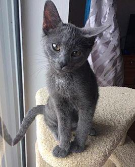 Domestic Shorthair Kitten for adoption in London, Ontario - Molly