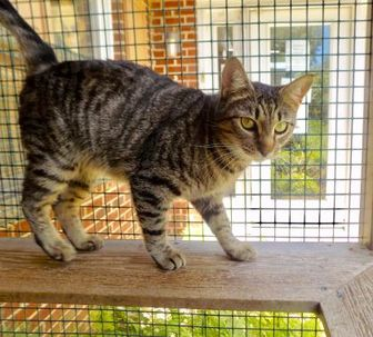 Domestic Shorthair/Domestic Shorthair Mix Cat for adoption in Chestertown, Maryland - Shelby
