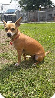 Chihuahua/Terrier (Unknown Type, Small) Mix Dog for adoption in Sandia, Texas - Juliette