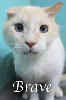 Siamese/Domestic Shorthair Mix Cat for adoption in Bradenton, Florida - Brave