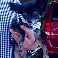 Adopt A Pet :: Jester - AUSTIN, TX