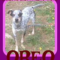 Adopt A Pet :: OREO - Allentown, PA