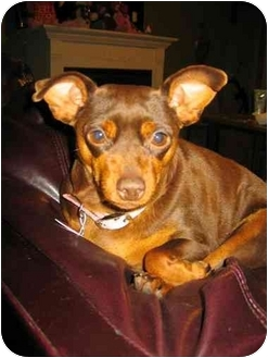 Miniature Pinscher/Miniature Pinscher Mix Dog for adoption in Swiftwater, Pennsylvania - Ella