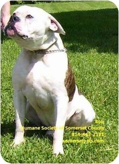 American Bulldog Mix Dog for adoption in Somerset, Pennsylvania - Hannibal (Bob)