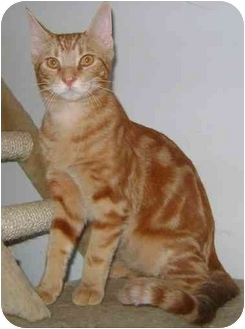 Domestic Shorthair Cat for adoption in Etobicoke, Ontario - Marbles