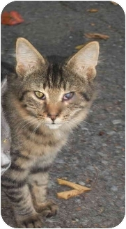 Maine Coon Cat for adoption in Cleveland, Tennessee - Micah
