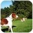Photo 1 - Brittany Dog for adoption in Altoona, Pennsylvania - Jerrel-PENDING