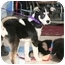 Photo 3 - Siberian Husky Mix Puppy for adoption in Various Locations, Indiana - Pixie