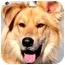 Photo 1 - Golden Retriever/Collie Mix Dog for adoption in Pawling, New York - LOGAN