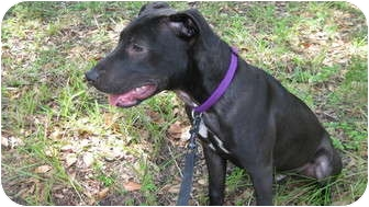 Labrador Retriever/Terrier (Unknown Type, Medium) Mix Dog for adoption in Jacksonville, Florida - Scooby