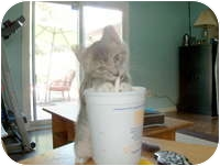 Domestic Mediumhair Kitten for adoption in Tampa, Florida - Luke