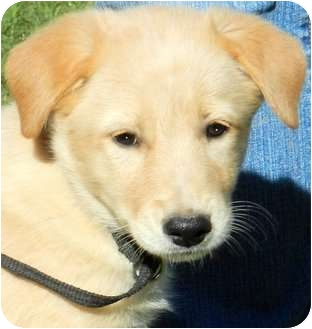 Golden Retriever/Great Pyrenees Mix Puppy for adoption in Wakefield, Rhode Island - DAISY