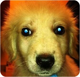 Golden Retriever Mix Puppy for adoption in Oswego, Illinois - I'M ADOPTED Louie Fularczyk