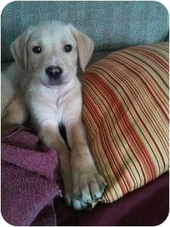 Golden Retriever/Labrador Retriever Mix Puppy for adoption in mishawaka, Indiana - Elwood PENDING