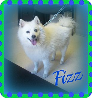 American Eskimo Dog Dog for adoption in Cannelton, Indiana - Fizz