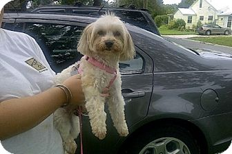 Maltese/Yorkie, Yorkshire Terrier Mix Dog for adoption in St. Petersburg, Florida - Princess