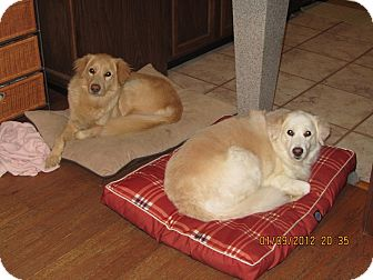Golden Retriever/Great Pyrenees Mix Dog for adoption in Salem, New Hampshire - Sophie and Shiloh