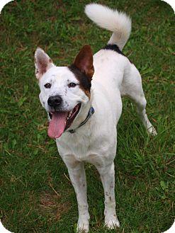 Husky/Shiba Inu Mix Dog for adoption in Toronto/Etobicoke/GTA, Ontario - Spud