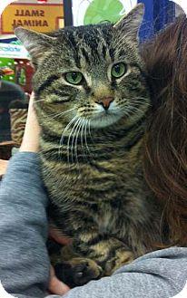 Domestic Shorthair Cat for adoption in Merrifield, Virginia - Vader