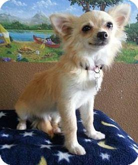 Chihuahua Dog for adoption in petaluma, California - Dallas