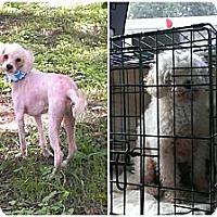 Adopt A Pet :: Boo - Spring Branch, TX