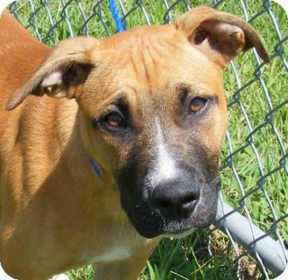 Staffordshire Bull Terrier Mix Puppy for adoption in Olive Branch, Mississippi - Max
