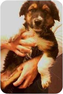Australian Shepherd Mix Puppy for adoption in Provo, Utah - CHEERY