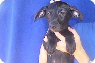 Golden Retriever/Labrador Retriever Mix Puppy for adoption in Oviedo, Florida - Akira