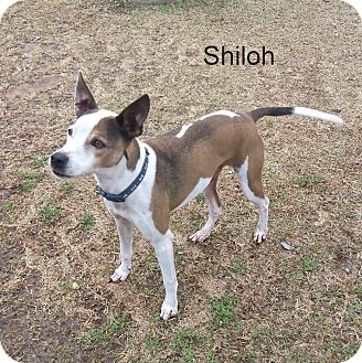 Terrier (Unknown Type, Medium) Mix Dog for adoption in Slidell, Louisiana - Shiloh
