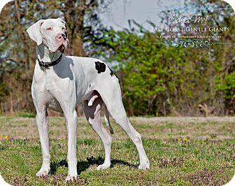 Great Dane Dog for adoption in Virginia Beach, Virginia - Takoda-VA