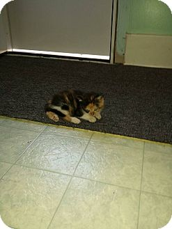 Calico Kitten for adoption in Rockford, Illinois - Zena