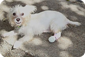Maltese Mix Dog for adoption in Allentown, Pennsylvania - Rummie - nothing slows her!
