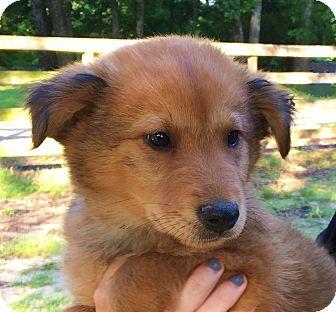Golden Retriever Mix Puppy for adoption in Chicago, Illinois - Landon- mom is purebred Golden