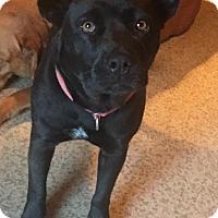 Adopt A Pet :: Bear Bear - Waterbury, CT