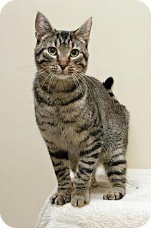 Domestic Shorthair Cat for adoption in Bellingham, Washington - Bowen