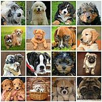 Shepherd (Unknown Type)/Beagle Mix Dog for adoption in Minneapolis, Minnesota - * Fosters Needed *