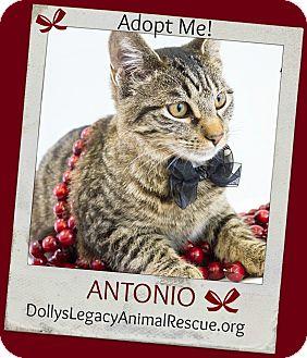 Domestic Shorthair Cat for adoption in Lincoln, Nebraska - ANTONIO