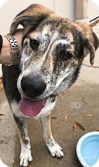 Australian Shepherd/Catahoula Leopard Dog Mix Dog for adoption in Vancouver, British Columbia - A - MAX