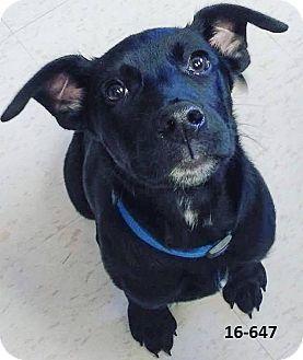 Labrador Retriever Mix Puppy for adoption in Cannelton, Indiana - Jaxon