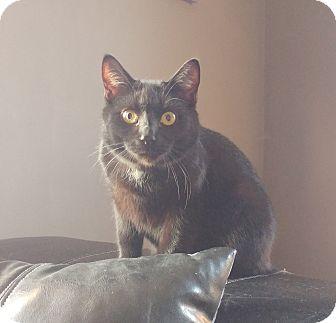 Domestic Shorthair Kitten for adoption in Colmar, Pennsylvania - Othello