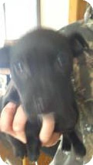 Feist Mix Puppy for adoption in Kendall, New York - Rigs