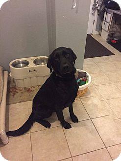Labrador Retriever Mix Dog for adoption in ST LOUIS, Missouri - Eddie