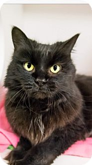 Domestic Longhair Cat for adoption in Seville, Ohio - Kendra - FEE WAIVED